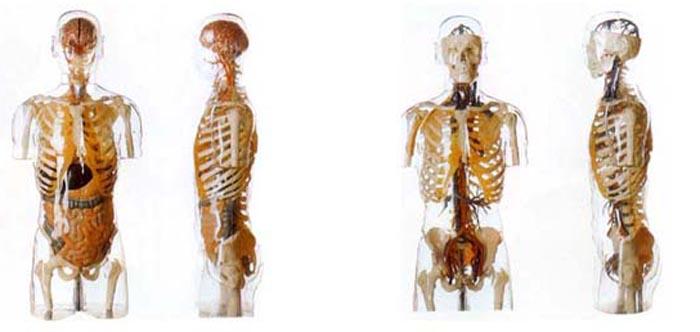 Модели медицинские анатомические